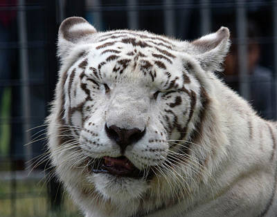 Photograph - White Tiger by Phyllis Britton