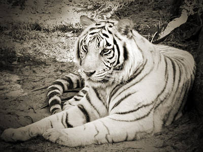 Photograph - White Tiger by Steven Sparks