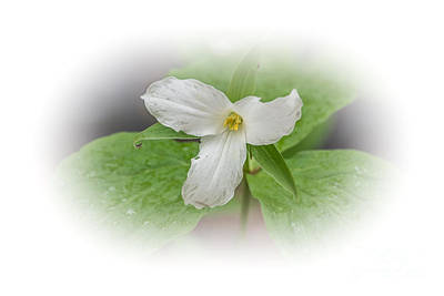 Photograph - White Trillium by Grace Grogan
