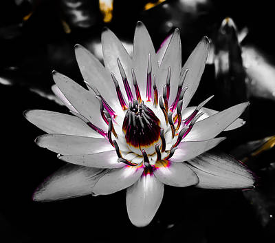 Mixed Media - White Water Lily by Pamela Walton