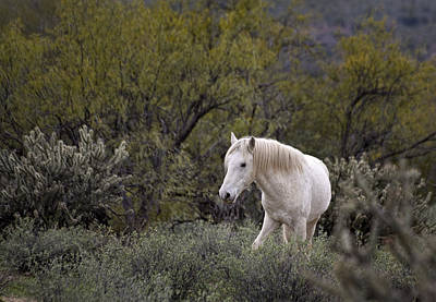 Photograph - White Wild Stallion In Salt River Arizona by Dave Dilli