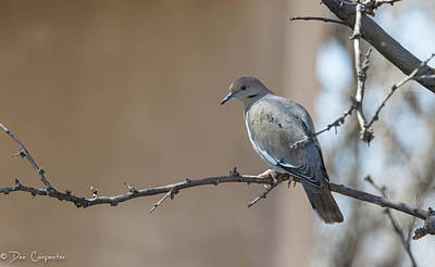 Photograph - White-winged Dove by Dee Carpenter