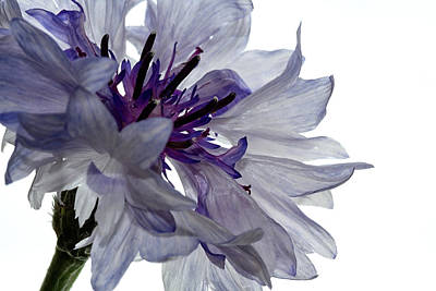 Photograph - White With Blue Cornflower by Shirley Mitchell