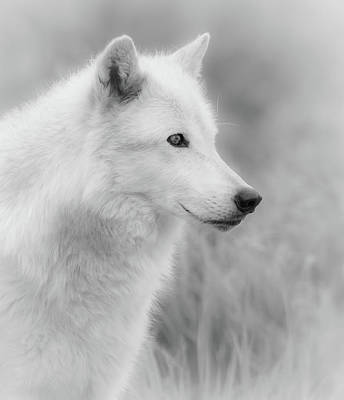 Photograph - White Wolf Bw by Athena Mckinzie