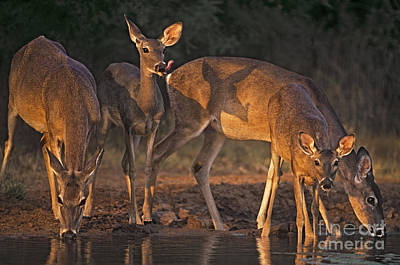 Art Print featuring the photograph Whitetail Deer At Waterhole Texas by Dave Welling