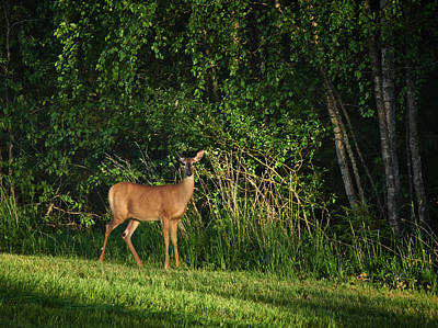 Photograph - Whitetail by Jouko Lehto