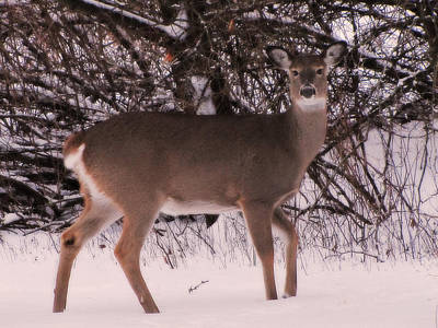 Photograph - Whitetail by Scott Hovind