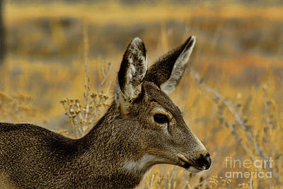 Photograph - Whitetail by Steven Parker