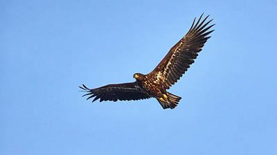 Photograph - Whitetailed Eagle by Jouko Lehto