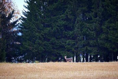 Photograph - Whitetails by Jouko Lehto