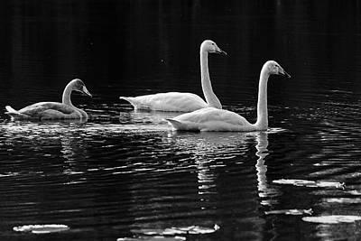 Photograph - Whooper Swan Family by Jouko Lehto