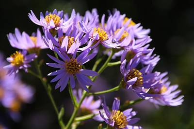 Photograph - Wild Asters by Kathryn Meyer