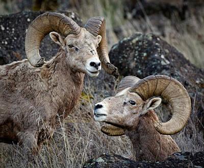 Photograph - Wild Bighorn Sheep  by Athena Mckinzie