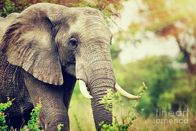 Photograph - Wild Elephant Portrait by Anna Om