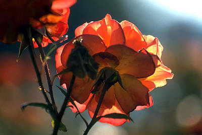 Photograph - Wild Irish Rose by Carl Purcell