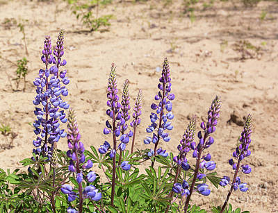 Antique Maps - Wild Lupine Flowers by Michael Shake