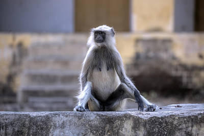 Rajasthan Photograph - wild monkey in Rajasthan - India by Joana Kruse
