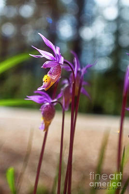 Photograph - Wild Mountain Orchids by David Arment