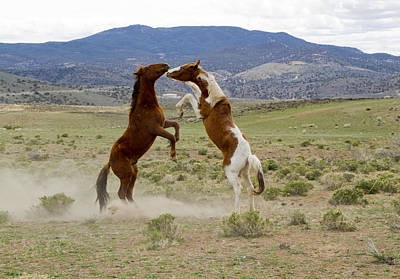 Photograph - Wild Mustang Stallions Sparring by Waterdancer