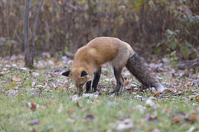Photograph - Wild Red Fox In The Wild by Josef Pittner