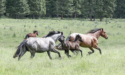 Photograph - Wild Rodeo Horses by Athena Mckinzie