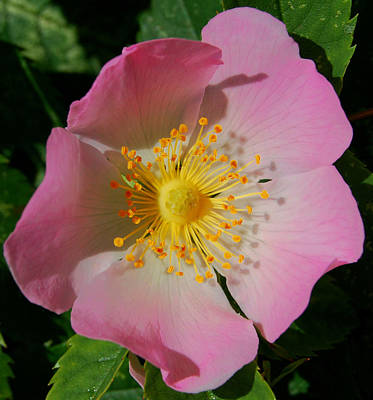 Photograph - Wild Rose by Marilynne Bull
