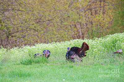 Photograph - Wild Turkey by David Arment