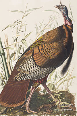 Turkey Painting - Wild Turkey by John James Audubon