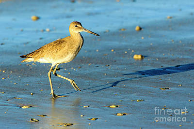Photograph - Willet by Ben Graham