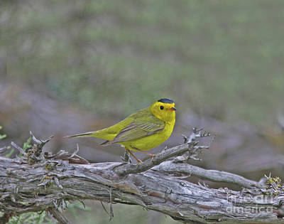 Yellow Photograph - Wilson Warbler by Gary Wing