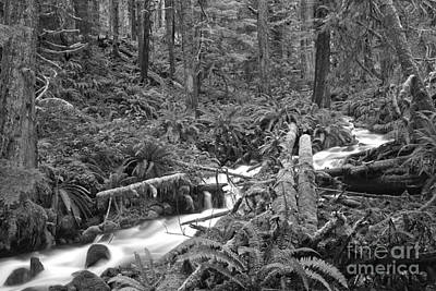 Photograph - Winding Through The Rainforest - Black And White by Adam Jewell