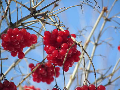Photograph - Winter Berries by Alfred Ng