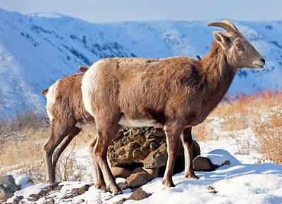 Photograph - Winter Bighorn by Mike Dawson