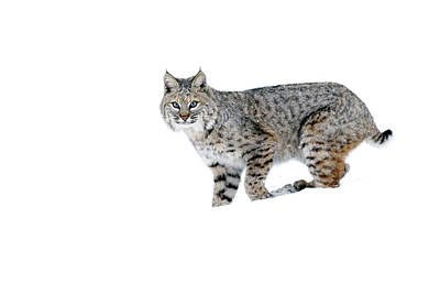 Photograph - Winter Bobcat 2 by Steve McKinzie