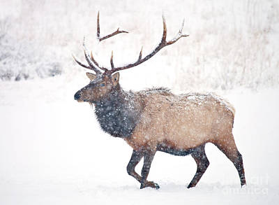 Bull Elk Photograph - Winter Bull by Mike Dawson