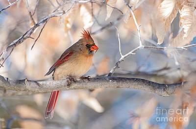Winter Cardinal Art Print