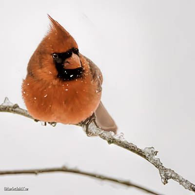 Photograph - Winter Cardinal by LeeAnn McLaneGoetz McLaneGoetzStudioLLCcom
