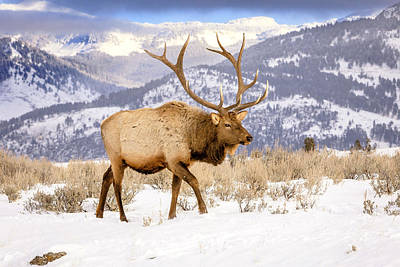 Photograph - Winter Elk by Jack Bell