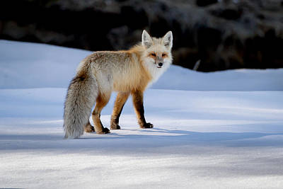 Photograph - Winter Fox by Jack Bell