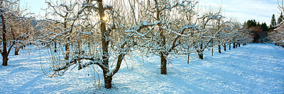 Pear Tree Photograph - Winter Morning In The Pear Orchard by Panoramic Images