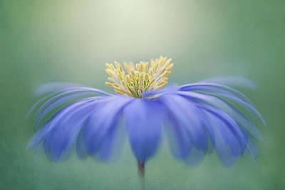 Winter Windflower Art Print
