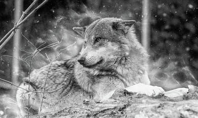 Photograph - Winter Wolf by Ractapopulous