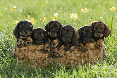 Litter Mates Photograph - Wire-haired Dachshund Puppies by Jean-Louis Klein & Marie-Luce Hubert