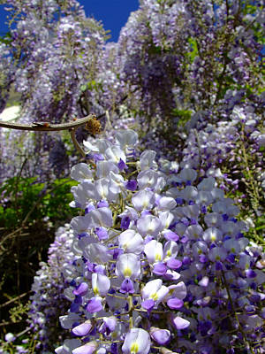 Photograph - Wisteria Cascading by Everett Bowers