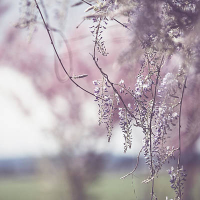Cherry Blossoms Photograph - Wisteria by Rebecca Cozart