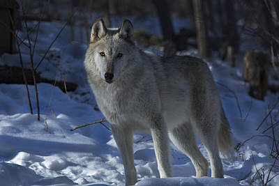 Photograph - Wolf 1 by Jeff Shumaker