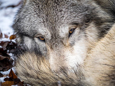 Photograph - Wolf Curled Up In Snow by Jay Huron