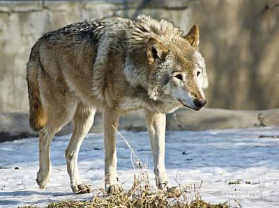 Photograph - Wolf by Irina Afonskaya