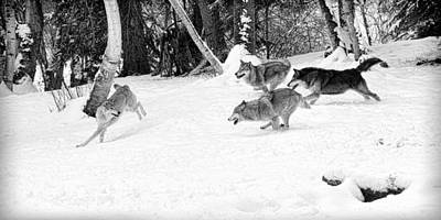 Photograph - Wolf Pack by Steve McKinzie