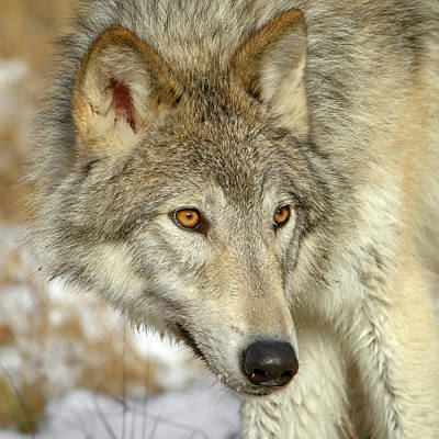 Photograph - Wolf Portrait by Jack Bell